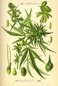 800px-Illustration_Cannabis_sativa0